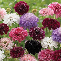 Pincushion Imperial Mix Seeds (Scabiosa atropurpurea) 100+Seeds