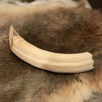 African Hippo Tusk