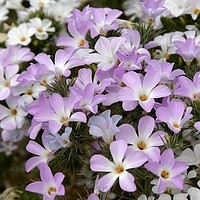 Mountain Phlox Flower Seeds (Linanthus Grandiflorus) 100+Seeds