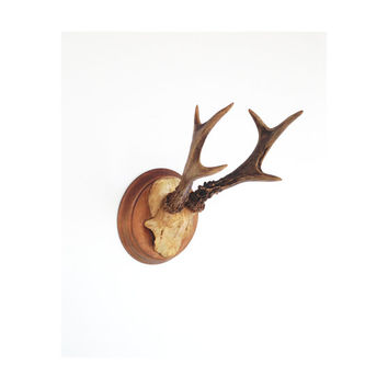 Vintage Deer Mount / Taxidermy / Poland