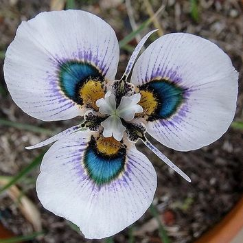 free ship Moraea iridioides flower seeds -40seeds Chinese characteristics flowe rseeds Exotic plants Garden Home Bonsai Plant
