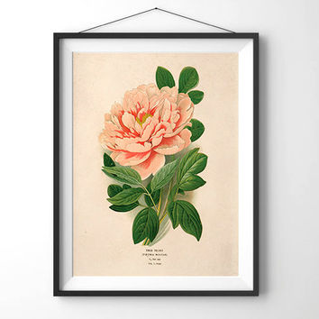 Antique Flower Print Botanical Poster. Pink Tree Peony Botany Educational Diagram Chart Scientific Flowers Pull down chart - CP205