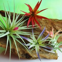 3 or 4 or 5 Beautiful Airplants ~  Aeranthos Stricta ~ Abdita ~ Plagiotropica ~ Vanhyningii Tall ~ No soil needed ~ Plants only