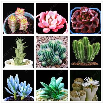 100 pcs rare mini Cactus bonsai mix succulent seeds ornamental plants succulents seeds for home garden indoor Lithops plants