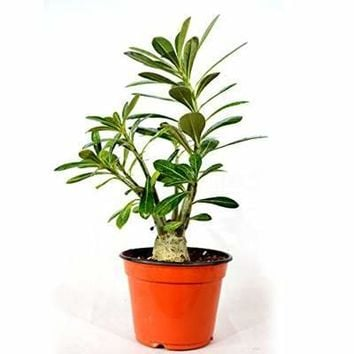 9GreenBox - Desert Rose Bonsai