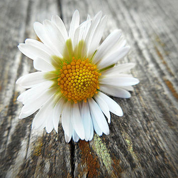 Fine art pothography,flower macro photography, wall art, fine art photography,daisy photography, home decor, nature macro photography