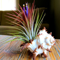 Wedding Favors! 25 Blooming Ionantha Air Plants displayed in Long Spine Murex Seashells