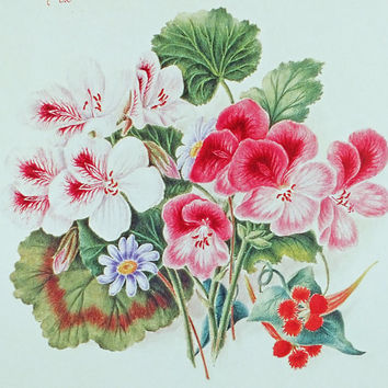 Picture of Nasturtiums and Pelargoniums, Pictures of Flowers, Botanical Illustrations, Floral Picture, Flower Picture