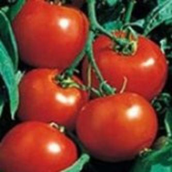 The Dirty Gardener Heirloom Rutgers Tomato - 75+ Seeds