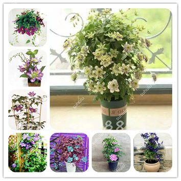 Climbing Clematis Seeds Mixed Clematis Vine Seeds Perennial Beautiful Flower Plants Bonsai Pot Garden Plant Outdoor Decor 100Pcs