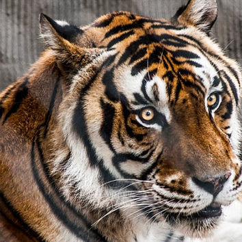 "24 x 36"" Bengal's Intent - Bengal Tiger Animal Portrait - Large Fine Art Photography Print"