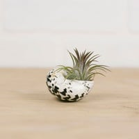Air Plant and Seashell Mini Kit