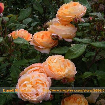 Rare 'Ougon-kaku' Golden Peony Plant Flower Seeds, 5 Seeds, Strong Fragrant Subshrubby Peony Flowers Light Up YOUR GARDEN