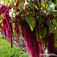 Love Lies Bleeding Amaranth Heirloom Seeds - Non-GMO, Open Pollinated, Untreated