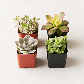 "2"" Live Assorted Succulents - Set of 4 