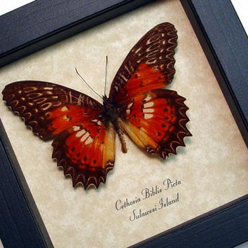Framed Butterfly Cethosia Biblis Picta Real Framed Shadowbox Frame 8132