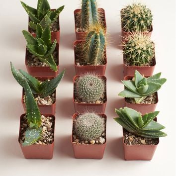 "LIVE 2.5"" Hardy Cactus & Succulent Collection - Pack of 12 - Ships Alone"