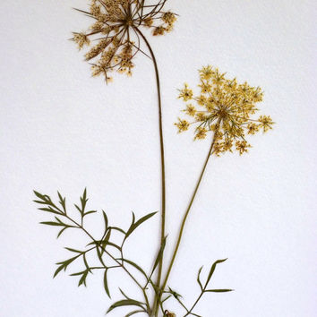 Real Pressed Queen Anne's Lace Flower Botanical Herbarium Specimen Art 11 x 14 Matted