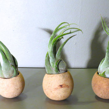 Seleriana Trio: A set of three natural seed pod containers complete with Tillandsia Seleriana Air Plants