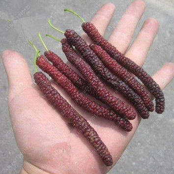 200 pcs/bag long mulberry seed, rare mulberry tree, Exotic plant Pakistan fruit seeds,Large super sweet Non-GMO food for garden