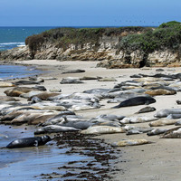 Elephant Seal Photo Nature and Wildlife Photo Print Matted Free Shipping 8x10