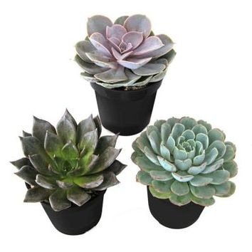 9 cm. Echeveria Plant (3-Pack)-0881005 at The Home Depot