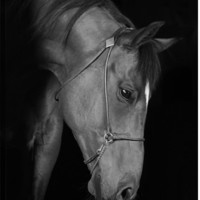 Trakehner Stallion In The Barn Black and White Animal Canvas Wall Art Print