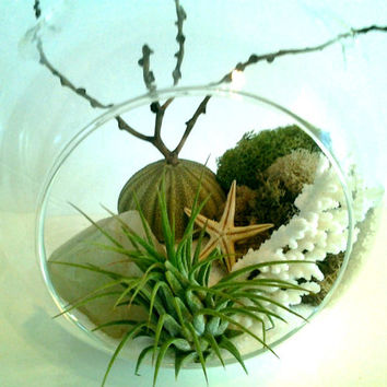 CELEDON - Air plant terrarium with Rock quartz , Natural white coral, sea urchin, palm pod branch, moss, on a bed of white sand