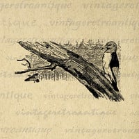 Digital Graphic Bird Download Woodpecker Image Printable Antique Clip Art for Transfers Printing etc HQ 300dpi No.253