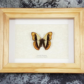 FREE SHIPPING Framed Cymothoe Herminia Glider Butterfly Taxidermy High Quality A1 #55