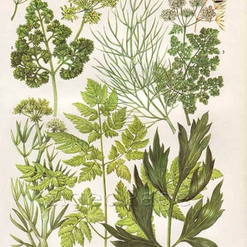 Vintage Herb Botanical Print, Food Plant Chart, Art Illustration, Wall Decor, Parsley, Dill, Chervil