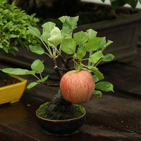 20 Bonsai Miniature Apple Tree Seeds Mini Fruit Garden Plants Balcony Potted Design Decor DIY Houseplant Home Garden