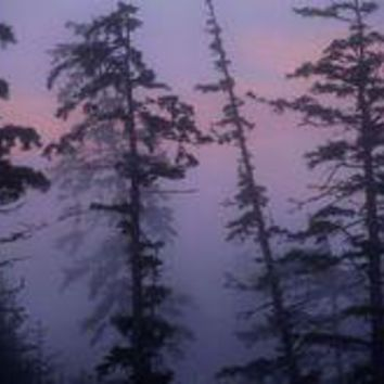 Morning Fog Shrouds Silhouetted Evergreen Trees.