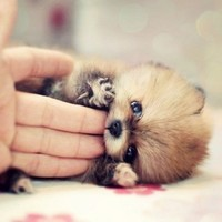 world's cutest teacup pomeranian - Google Search