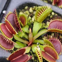 Potted Insectivorous Plant Seeds Dionaea Muscipula Giant Clip Venus Flytrap Seeds