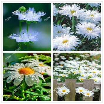 100Pcs Daisy Flower seeds  mixed color flower seeds for home DIY garden decoration New Arrive 2017