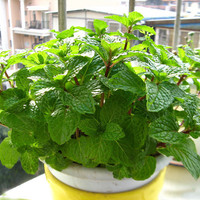 200 Peppermint Mint Seeds Green Vegetables Herbs Aromatic Organic (Mentha Piperita) Potted Balcony Indoors or Outdoor Gardening