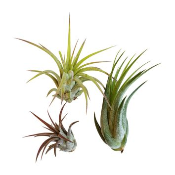 3 pc Air Plant Ionantha Tillandsia Set