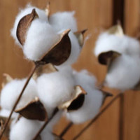 30pcs Natural Cotton Stem Boll 12'' for Floral Arrangement