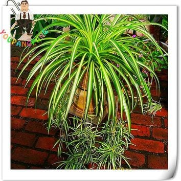 Big Promotion 100 Pcs/lot Chlorophytum plants Indoor Bonsai Plants Absorb Formaldehyde Perennial Floewr plants Potted Diy Plant