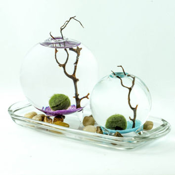 Marimo Moss Ball aqua terrarium on colored bed.