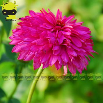 Bright Pink Echinacea Purpurea Coneflower Flower Seed, 20 Seeds/Pack, Strong Growth Double Ornamental Flowers