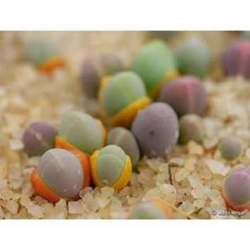 5 Gibbaeum Seeds Comptonii Exotic Succulent Cacti Cactus Rare Ice Living Rocks Mesembs Home Garden Decor Plant Lithops