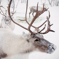 Large Wall Art-Winter Reindeer Photo-Christmas in Norway Snow-Home Decor-Fine art Photography-16x20
