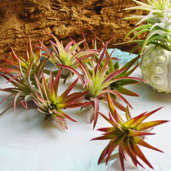 Airplant ~ Velutina Red Tipped Air Plant - Grows to 3 to 5 inches ~ No soil needed - Terrarium Plant ~ Wedding Favors ~ Plant Only