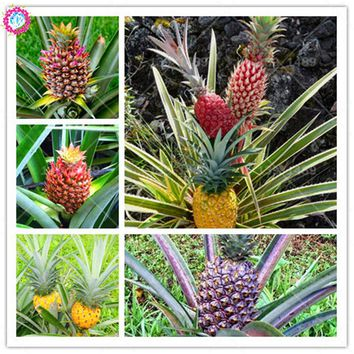 100pcs dwarf pineapple seeds Sweet juicy delicious organic fruit seeds mixed color bonsai planting for DIY home garden supplies