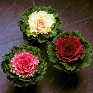 Flowering Ornamental Cabbage seeds , Plant flowering kale in bonsai or pot , Garden decoration flower seeds 100 pcs/bag