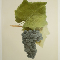 Vintage Grape Print Antique Fruit Print Nectar 1908 Winery Art Kitchen Food Art Unique Christmas Gift Under 20 Gifts for Home Restaurant