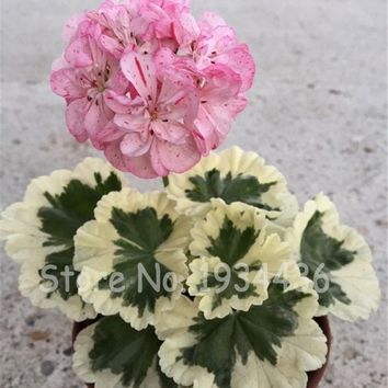 5 Bag 10 Pcs Geranium Pelargonium Peltatum Bonsai DIY Home Garden Plants Indoor Perennial Pretty Flower Potted Christmas Gift