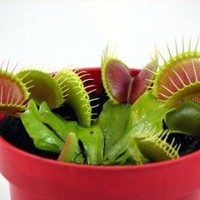 "Venus Fly Trap Plant - Carnivorous - 3"" Clay Pot"